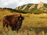 University of Colorado - Ralphie IV in Chautauqua Park Photographic Print