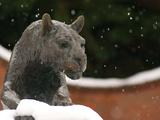 Washington State University - Snow Falls on the Cougar Foto