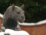 Washington State University - Snow Falls on the Cougar Photo