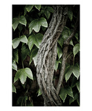 Ivy Photographic Print by Lars Hallstrom