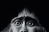 Tim Flach-Monkey Eyes Póster
