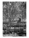 Harvesting Pears Prints by Dorothea Lange