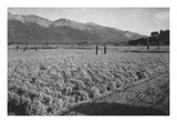Guayule Field Poster by Ansel Adams