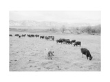 Cattle in South Farm Prints by Ansel Adams