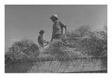 Threshing, Midsummer Noon. Plakater af Dorothea Lange