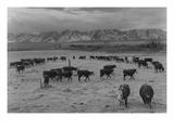 Cattle in South Farm Premium Giclee Print by Ansel Adams