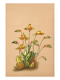 Lycaste Aromatica Premium Giclee Print by H.g. Moon
