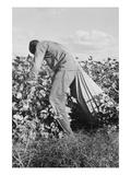 Migratory Field Worker Picking Cotton Plakater af Dorothea Lange