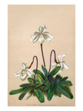 Thai Lady Slipper Orchid; Cypripedioidea Prints by H.g. Moon