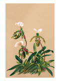 Cypripedium Spicerianum; East Indian Lady Slipper Prints by H.g. Moon