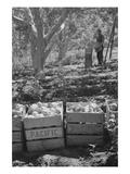 Harvesting Pears Print by Dorothea Lange