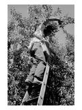 Picking Pears Posters af Dorothea Lange