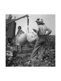 Cotton Weighing Poster af Dorothea Lange