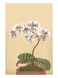 Phalenopsis Schilleriana Art by H.g. Moon