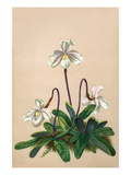 Thai Lady Slipper Orchid; Cypripedioidea Poster by H.g. Moon