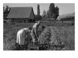 Couple Digging their Sweet Potatoes Plakater af Dorothea Lange