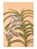 Vanda Suavis Print by H.g. Moon