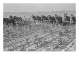 Cultivating Cotton Poster von Dorothea Lange