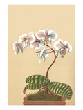 Phalenopsis Schilleriana Posters by H.g. Moon