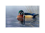 Male Wood Duck Posters by Andrew Kiss