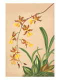 Oncidium Barker Ii Prints by H.g. Moon