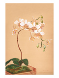 Phalenopsis Stuartiana; Philippine Orchid Art by H.g. Moon