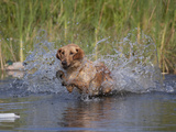 Yellow Labrador Retriever Retrieving Bumper Photographic Print by Lynn M. Stone