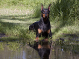 Black Doberman with Reflection Photographic Print by Lynn M. Stone
