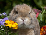Tan Lop Rabbit Portrait Photographie par Lynn M. Stone