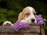 Basset Hound Pluppy Photographic Print by Lynn M. Stone