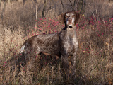 German Short Hair Pointer Photographic Print by Lynn M. Stone