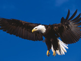 Bald Eagle in Flight Lámina fotográfica por Lynn M. Stone
