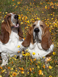 Basset Hounds in Wildflowers Photographic Print by Lynn M. Stone