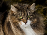 Norwegian Forest Cat, Portrait Photographic Print by Lynn M. Stone