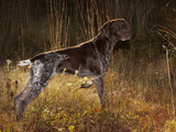 German Short Hair Pointer, Connecticut Photographic Print by Lynn M. Stone
