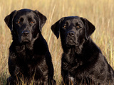 Pair of Black Labrador Retrievers in Sea Grass Photographic Print by Lynn M. Stone