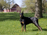 Black Doberman in Spring Photographic Print by Lynn M. Stone