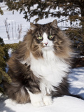 Norwegian Forest Cat in Snow Photographic Print by Lynn M. Stone