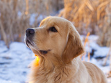 Golden Retriever Photographic Print by Lynn M. Stone