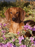 Dachshund in Flowers, Florida Photographic Print by Lynn M. Stone