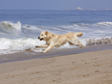 White Golden Retriever Running Along Pacific Beach Photographic Print by Lynn M. Stone