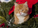 Orange Cat in Evergreen Boughs Photographic Print by Lynn M. Stone