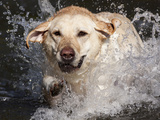 Yellow Labrador Retriever Water Entry Photographic Print by Lynn M. Stone