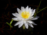 White Water Lily Photographic Print by Lynn M. Stone