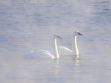 Trumpeter Swans in Fog Photographic Print by Lynn M. Stone