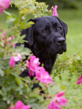 Black Labrador Retriever with Roses, Portrait Photographic Print by Lynn M. Stone