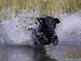 Black Labrador Retriever Water Enry Photographic Print by Lynn M. Stone