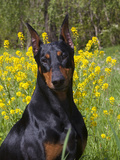 Black Doberman, Portrait Photographic Print by Lynn M. Stone