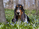 Basset Hound in Blue Flowers Photographic Print by Lynn M. Stone