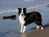 Border Collie on California Beach Photographic Print by Lynn M. Stone